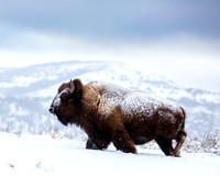 Bison in Snow 2