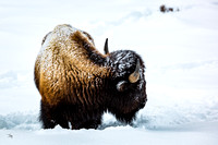 Bison in Snow 3