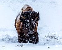 Bison in Snow 1